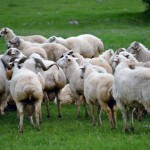نامه سرگشاده گوسفندان مستضعف به رهبر کهیر انقلاب