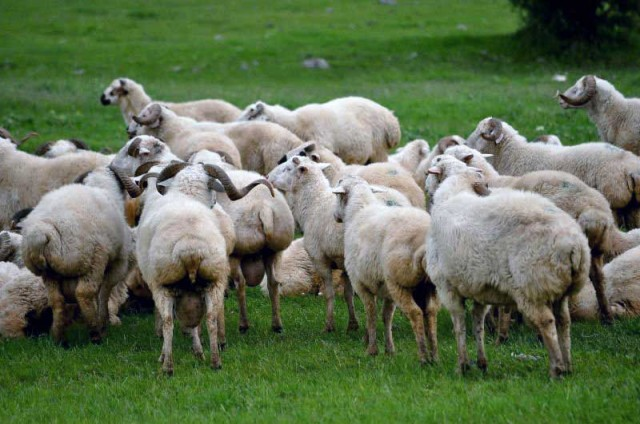 sheep-iran