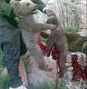 این شکارچی ناجوانمرد که از انسانیت و محبت بویی نبرده است پس از کشتن خرس مادر، دو توله خرس بینوا را نیز کشته و دل و روده های شان را بیرون کشیده است. اکنون آن شکارچی دیوانه با وثیقه ۲۰ میلیون تومانی آزاد شده است.