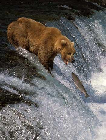 فرتور لحظه شکار یک ماهی قزل آلا توسط خرس قهوه ای را نشان می دهد، این فرتور ثابت می کند که بقا و پایداری جمع، دسته، نژاد و گروه از زندگی یک فرد (حیوان) ارزش بیشتری دارد. ماهی ها خلاف جهت آب شنا کرده تا بتوانند محل مناسبی برای تخم ریزی بیابند و خطر شکار شدن توسط خرس ها را نیز برای حفظ و بقای نسل شان به جان می خرند.
