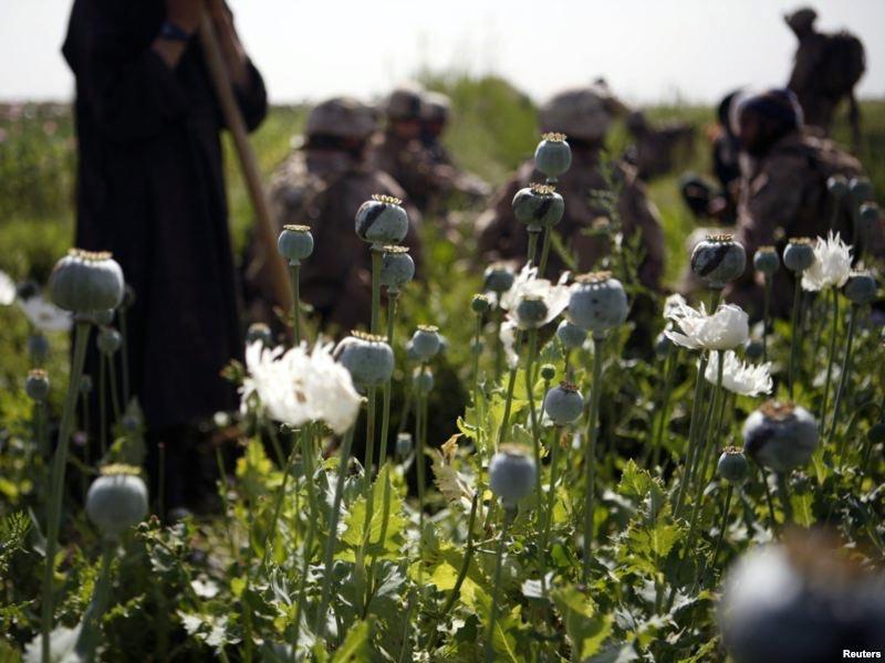این یکی از دهها مزرعه کشت و برداشت تریاک در افغانستان است. هربوته این فرآورده نماینده فقر، بیماری، بیچارگی، و مرگ یک فرد ویا یک خانواده است. بزرگترین دلالان این قاصد مرگ، پاسداران، سربازان امام زمان، و وابستگان نزدیک رژیم ایران و افغانستانند.