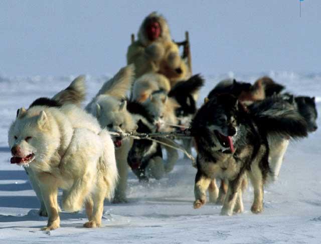 سگ های اسکیمو ها در کانادا و قطب شمال که در حمل و نقل افراد کیلو متر ها بر روی برف و یخ کمک می کنند و بزرگترین خدمتگذار آنان می باشند.