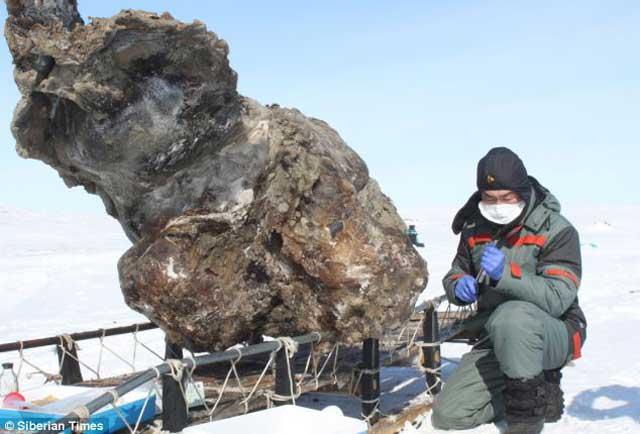 جسد ماموت پیداشده در یخبندان سیبری مورد مطالعه دقیق دانشمندان زیست شناسی قرار می گیرد.