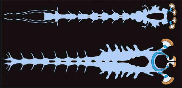 فرتور بالا سیستم عصبی Alalcomenaeus (موجود 500 میلیون ساله کشف شده ) است .و فرتور پایین متعلق به یک خرچنگ است. علم پاسخگویِ تمامی پرسش هایی است که ادیان توانایی پاسخ بدان ها را ندارند. _ سبروس پارسا _