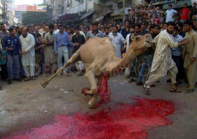 به راستی بشر تا چه اندازه می تواند خون آشام و بی رحم باشد؟. نمونه آن را در از پای درآوردن این حیوان بیچاره و سرنگون بخت می بینید. مسلمانان که این چنین خونریزی را در بین مردم رواج می دهند، آنان را آماده می کنند که در برابر صحنه های دار گردآمده و جان دادن انسانی را بدون هیچگونه ناراحتی تحمل کنند.
