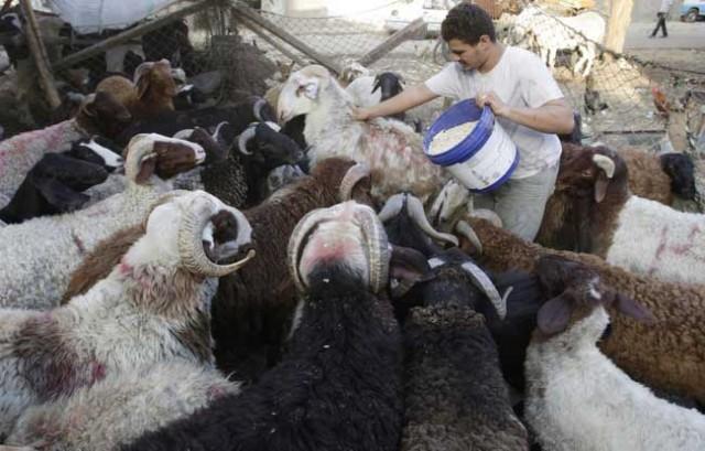 گوسفندان بی زبان و بی دفاع در دست جلاد و در انتظار مرگ برای خشنودی الله مرگ طلب و برآوردن خواسته های امت خردباخته