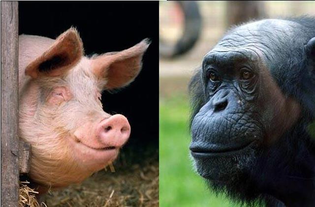 شامپانزه و خوک دو جانوری که به انسان شباهت بسیاری دارند.