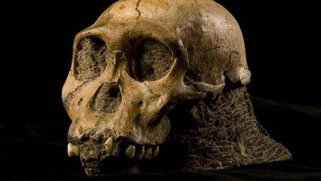 اسکلت سر انسان اولیه که شباهت و نزدیکی بسیار زیادی با خوک و شامپانزه دارد.