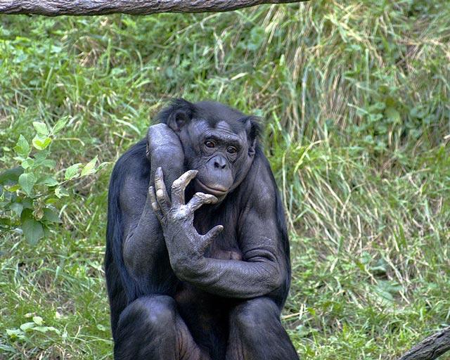 (آیا شباهت ژنتیک شامپانزه با انسان هیچ دلیل ندارد؟ ما از کره دیگری آمده ایم؟ پس چرا میمونها 95 درسد با ما یکریشه هستند؟)