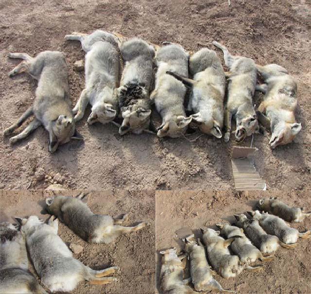 اینهم رفتار محبت آمیز رژیم اسلامی نسبت به سگها است. رژیمی که از کشتار انسان ها امتناعی ندارد و همواره به آدمکشی می پردازد، نمی تواند رفتار بهتری نسبت به سگها داشته باشد.