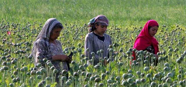 یکی از صدها مزرعه کشت تریاک در افغانستان که سالانه هزاران نفر را از تندرستی و هستی ساقط کرده و یا به کام مرگ می کشاند.