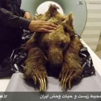 در سر و بدن این خرس بینوا بیش از صد ساچمه پیدا شد! کدام حیوان حاضر است چنین جنایتی بکند؟!