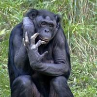 آیا شباهت ژنتیک شامپانزه با انسان هیچ دلیل ندارد؟ ما از کره دیگری آمده ایم؟ پس چرا میمونها ۹۵ درسد با ما یکریشه هستند؟- (باران بهاری)