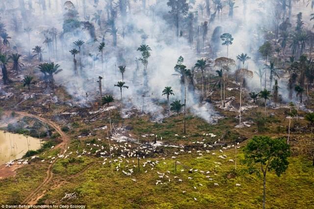 جنگ با طبیعت با سوزان جنگل ها و رها کردن گوسفندان برای چرا در میان آنها در آمازون برزیل.