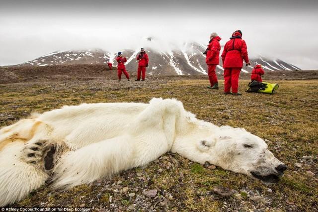 خرسی که در سوائیباند نروژ در راهرسیدن به دریای یخبندان از بین رفته و همچنان بر روی زمین مانده است.