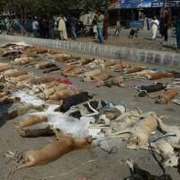 اینهم کشتار سگ های بی آزار با گوشت آلوده است.که حکومت اسلامی پاکستان در ایالت سند انجام داده است. آیا جنایتی از این بالاتر دیده می شود؟!.