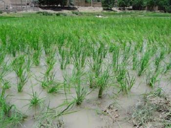 قیمت آبی که برای تولید برنج استفاده می شود از خود برنج بیشتر است!  بهتر نیست بجای تولید برنج ، محصولی مناسب شرایط خشکسالی کشور کشت کنیم؟