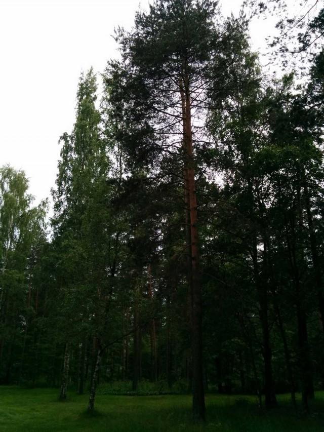درختان سر به فلک کشیده و بزرگی که فنلاند را در میان جنگلی بی انتها و عظیم جای داده است.