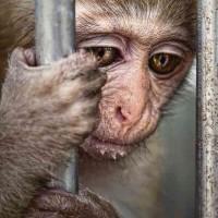 چه کسی می گوید حیوانات احساسات ندارند؟ یک نگاه به این میمون بینوا بکنید! انسان خودخواه چه بلایی سر سایر جانداران آورده؟!