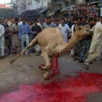 a-camel-being-sliced-open-islamic-festival-640x453